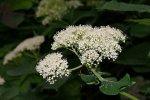 Цветочные кластеры обычно состоят только из маленьких плодущих цветков
