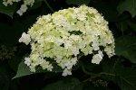 Редко (в дикой природе) цветочные кластеры могут иметь только стерильные цветки