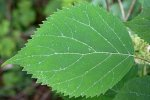 Листья противоположные, широко яйцевидные, заостренные и резко зубчатые