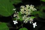 На краях соцветия могут присутствовать различные количества стерильных цветков