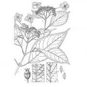 Hydrangea caudatifolia