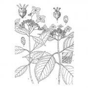 Hydrangea chungii