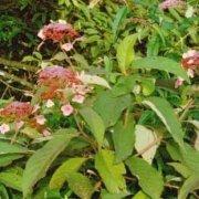 Hydrangea davidii