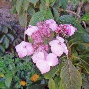 Hydrangea mangshanensis
