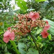 Hydrangea peruviana