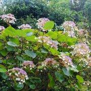 Hydrangea robusta