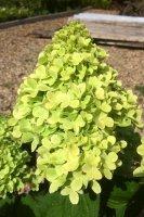 Соцветие салатового цвета