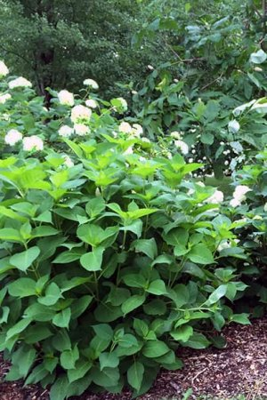 Отсутствие цветения у гортензии