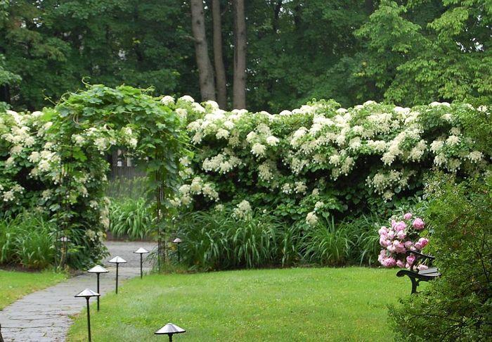 Лазающая гортензия в саду