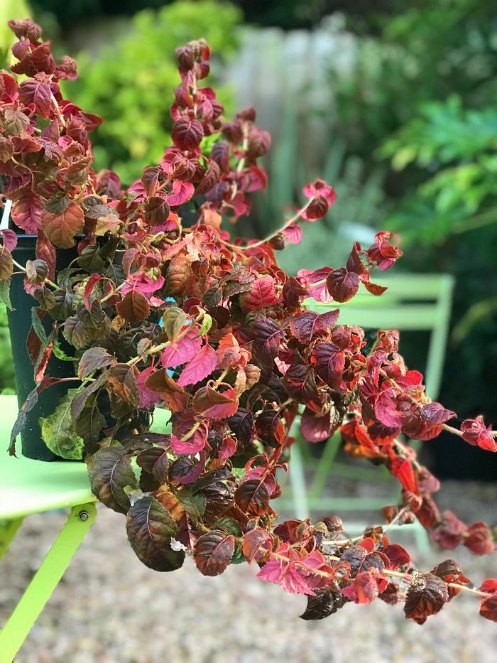 Гортензия Винтер Сюрпрайз зимние красные листья